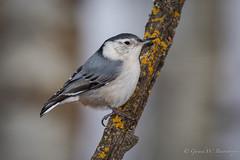 White-brea.ted Nuthatch (Turk Images) Tags: winter birds alberta sittacarolinensis nuthatches sittidae mixedwoods whitebreasednuthatch wbnu aspenparkland