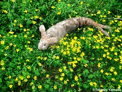 Dr. Takeshi Yamada and Seara (Coney Island Sea Rabbit) in the Pine Barrens of New Jersey during the Jersey Devil Expedition on June 20, 2016. flowers. 20150620 041=-2040== (searabbits23) Tags: ny newyork sexy celebrity rabbit art hat fashion animal brooklyn asian coneyisland japanese star tv google king artist dragon god vampire manhattan famous gothic goth uma ufo pop taxidermy vogue cnn tuxedo bikini tophat unitednations playboy entertainer oddities genius mermaid amc mardigras salvadordali performer unicorn billclinton seamonster billgates aol vangogh curiosities sideshow jeffkoons globalwarming mart magician takashimurakami pablopicasso steampunk damienhirst cryptozoology freakshow leonardodavinci seara immortalized takeshiyamada roguetaxidermy searabbit barrackobama ladygaga climategate  manwithrabbit