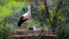 Cigea (Juaberna) Tags: madrid animals zoo nikon aves sp animales 70300mm tamron vc storks usd cigueas d610