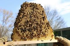 Top Bar Brood (OakleyOriginals) Tags: bees young brood honeybees topbar hivecheck
