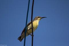 Purple-rumped Sunbird.Female (Deepu Cyriac) Tags: travel bird nature birds wildlife madurai tamilnadu sunbird purplerumpedsunbird nectariniidae