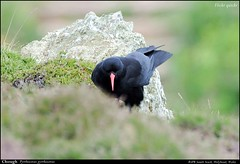 Chough (flickr quickr) Tags: pyrrhocoraxpyrrhocorax chough corvidsc