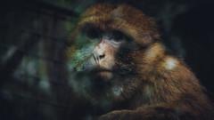 Vie de Singes - IV (ThibaultPoriel) Tags: wild france nature animal europe wildlife bretagne olympus savage greatphotographers
