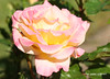 02-IMG_4210 (hemingwayfoto) Tags: australiangold beetrose blühen blüte blume botanik duftend flora gelb pflanze rose rosengewächs stadtpark