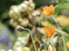 Californian poppy (Wouter de Bruijn) Tags: flowers plant flower nature amsterdam garden spring bokeh outdoor depthoffield poppy poppies fujifilm botanicalgarden hortusbotanicus californianpoppy goldenpoppy xt1 hortusamsterdam fujinonxf90mmf2rlmwr