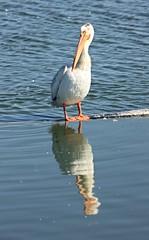 Why the long face? (Gunn Shots (Mark Gunn)) Tags: reflection pelican americanwhitepelican lasgallinas