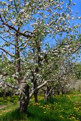 Fleurs printanires 3D (alex.bernard) Tags: fleurs flower pommier appletree nature arbre tree extrieur outdoor printemps spring montsainthilaire qubec canada canon canon5diii 5d sigma 70200mm sigma70200mm