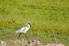 Walking Spoonbill (J. Verspeek) Tags: elephant bird nature netherlands birds animal fauna canon walking photography rotterdam flora belgium zoom outdoor or young hobby passion tele common biology eurasian watermark biesbosch spoonbill platalea leucorodia