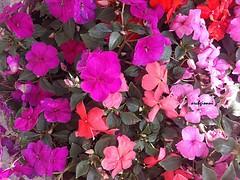 fiori della nonna (archgionni) Tags: pink flowers nature leaves foglie petals colours grandmother rosa natura passion picturesque petali colori cultivation nonna passione coltivazione exquisiteflowers