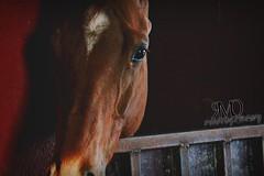El arte de la sencillez - The art of simplicity (MQR Photography) Tags: horse animal caballo cheval psi ingles ecuestre stable cavalo pferd equestrian equine cuadra equitacion englishhorse caballoingles