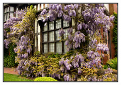 Wisteria Delight (Audrey A Jackson) Tags: house colour history nature canon wisteria wolverhampton wightwickmanor 60d 1001nightsmagiccity