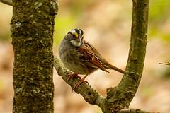 White-throated Sparrow (patrickhale7173) Tags: bird nature sparrow arkansas avian songbird zonotrichia whitethroated albicollis
