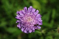 Wild Flower (Hugo von Schreck) Tags: flower blume wildflower blte wildblume knautiaarvensis witwenblume ackerwitwenblume knautien tamron28300mmf3563divcpzda010 canoneos5dsr
