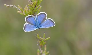 Silver-studded Blue (Plebejus argus).