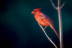 D75_3906.jpg (wrc1717) Tags: bird birds cardinal