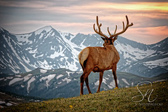 Lord of the Land 4752-15 (StacyN - MichiganMoments) Tags: sunset mountain nature silhouette rockies colorado antlers elk range stacyniedzwiecki