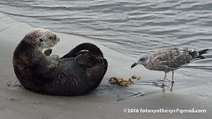 Southern Sea Otter (Enhydra lutris nereis) scat consumed by South Western Gull (Larus occidentalis wymani), 1st winter DSC_0706 (fotosynthesys) Tags: southernseaotter enhydralutrisnereis seaotter mustelidae marinemammal federallythreatened southernwesterngull larusoccidentaliswymani westerngull gull charadriiformes bird california unitedstates