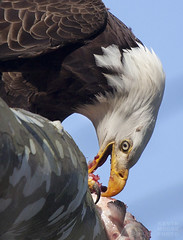 Eagle Sushi (crabsandbeer (Kevin Moore)) Tags: fish nature birds closeup eagle wildlife baldeagle beak maryland talon raptor eagles conowingo