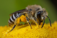 An old re-post (steb1) Tags: bee tansy colletes hymenoptera aculeate