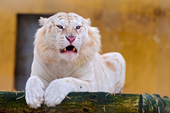 Snow white tiger, always pissed off! (Tambako the Jaguar) Tags: wild white male cat switzerland big nikon tiger posing jura psycho angry resting lying snowwhite rare bengal pissedoff stripeless d700 sikyranch cremines