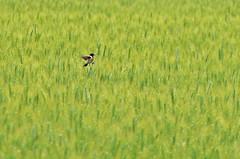 Just alone (Vlada Marinkovic) Tags: bird nature grass spring serbia watcher vojvodina birdwatcher vrsac