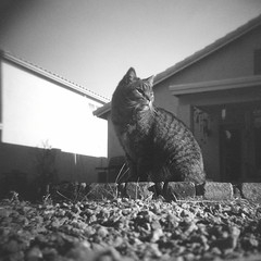 Foo Foo Kitty (kevin dooley) Tags: arizona bw white house black brick tlr film home animal rock analog yard cat holga lomo lomography backyard feline chat kitty az rufus foo medium format chandler fufu foofoo thelittledoglaughed fufukitty foofookitty