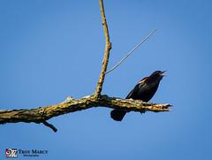 Red-Winged Blackbird Call (TroyMarcyPhotography.com) Tags: bird nature illinois wildlife redwingedblackbird 70200f4l moraineviewstatepark mcleancounty canon7d naturemay2012wwwtroymarcyphotographycomwwwfacebookcomtroymarcyphotogrnaturemay2012wwwtroymarcyphotographycomwwwfacebookcomtroymarcyphotogrwwwtroymarcyphotographycomwwwfacebookcomtroymarcyphotography