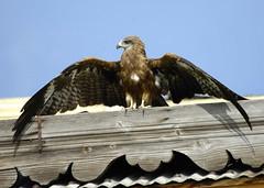 KASHMIR (lupus alberto) Tags: kashmir uccellirapacilagodal