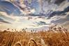 Sohna Punjab ! (Harvarinder Singh) Tags: university wheat agriculture punjab agricultural ludhiana kanak sohnapunjab harvarindersinghphotography harvarindersingh vaisaakhi
