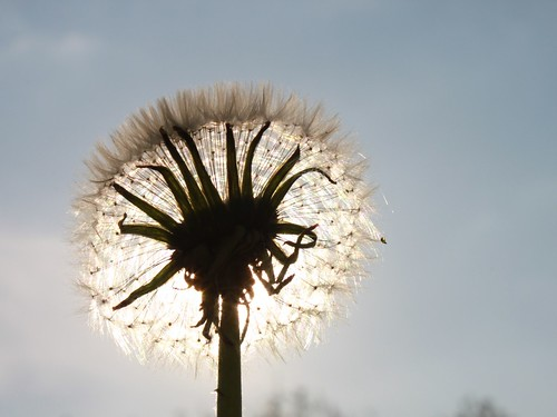 Dandelion-Fluff_Sun-Shining__104258 by Public Domain Photos, on Flickr