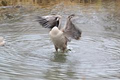 Bath Time 1 (wbrown1066) Tags: calgary geese alberta wetlands waterfowl canadagoose inglewoodbirdsanctuary