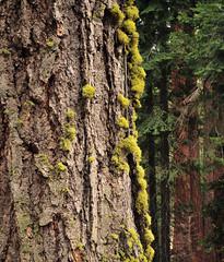 Lichen on the bark (sjb5) Tags: california trees tree pinetree nationalpark trail bark lichen sequoia sequoianationalpark giantsequoia sequoiadendrongiganteum giantforest sequioatrees shermantreetrail generalshermantrail