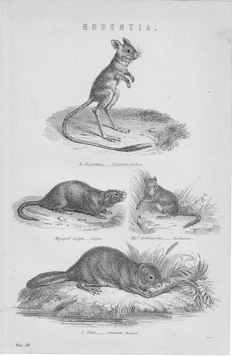 Rodentia - National Encyclopedia 1884