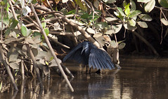 Black Heron / Black Egret (Egretta ardesiaca) (Ozgi1) Tags: africa black bird heron nature canon golf fishing wildlife course gambia egret egretta serrekunda blackheron egrettaardesiaca blackegret fajaragolfcourse fajara ardesiaca fajaragolf