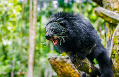 binturong I (gautsch.) Tags: animal animals indonesia zoo indonesian binturong asianbearcat arctictisbinturong