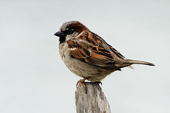 House Sparrow. (stonefaction) Tags: nature birds ferry scotland dundee angus wildlife broughty faved monifieth