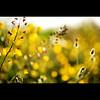 Tones of Yellow (b@u) Tags: flower color yellow 35mm landscape dof bokeh f14 sony a850 micarttttworldphotographyawards micartttt