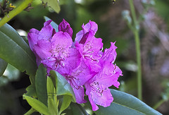 Wild Pink 5 (Bates' Photography) Tags: pink orange white purple peach rhododendron violets jeffersoncounty rhodies