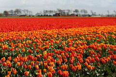 Dutch Tulip field near Haarlem, the Netherlands (Simon Christiaanse) Tags: flowers red orange holland haarlem colors dutch field bulb landscape spring europe nederland thenetherlands plantation tulip hillegom vogelenzang dezilk flowernursery vividstriking simonchristiaanse