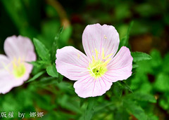 Beautiful flower ( Nana) Tags: flowers love colorful taiwan  eveningprimrose beautifulflower i amazingdetails mygearandme
