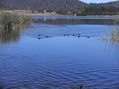 Water birds at Lake Wallace (Auntiebiga) Tags: lithgow lakewallace