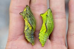 Puipevine Swallowtail-7715 (Timtastic!) Tags: butterfly aristolochia pupa pipevineswallowtail diapause battus hirsuta philenor chyrsalis