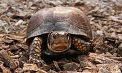 Eastern Box Turtle by Steve Gifford (Steve Gifford - IN) Tags: county bird nature river photo box turtle wildlife steve picture indiana national photograph steven pike society gibson eastern refuge audubon gifford nwr ias haubstadt patoka