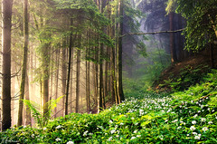 Blooming wild garlic (Robin Halioua) Tags: fairytale switzerland spring enchantedforest sihlwald langnauamalbis