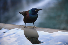Starling (Marco BR) Tags: reflection bird starling explore ave 911memorial estorninho explored duetos