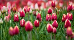 Tulpen (rugga76) Tags: flowers nature canon natur blumen april bodensee 2012 mainau 50d