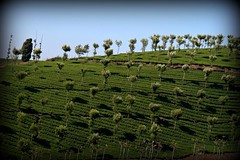 Beauty of Ooty (mseema) Tags: shadow green nature tn tea plantation tamilnadu ooty teaplantation teaestate udagamandalam