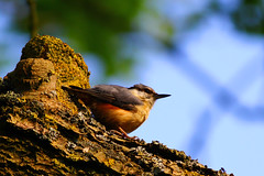 The Nuthatch (jammo s) Tags: summer tree bird branch norfolk beak nuthatch sittaeuropaea canonef400mmf56lusm jammo canoneos60d