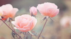 Baby Roses (Natsuki Photography) Tags: pink roses plant pastel softtones