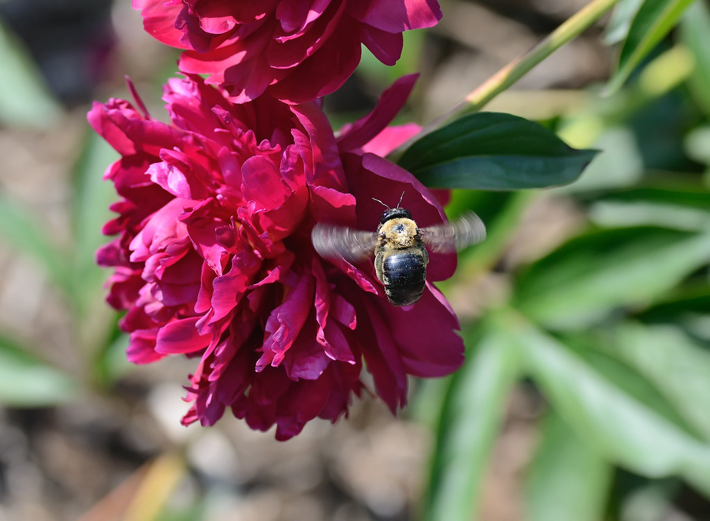 Bee and peony / 蜜蜂與牡丹花